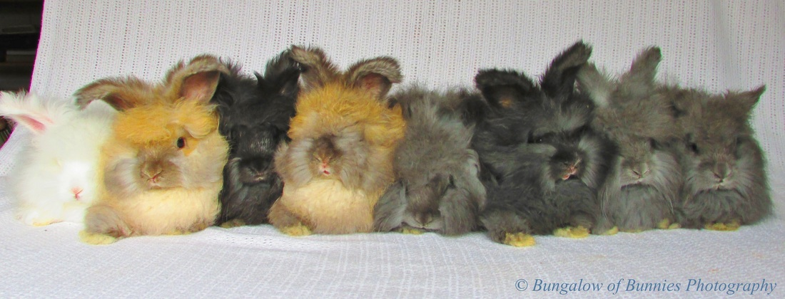 blog archives bungalow of bunnies dutch english angora rabbits
